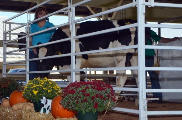 Heifer Auction (6)