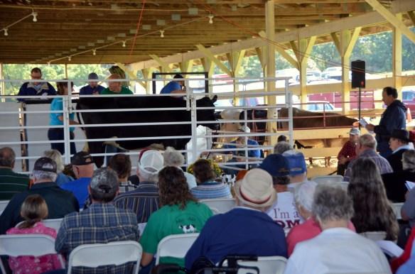 Heifer Auction (9)