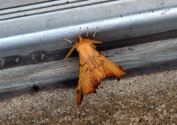 10-16-14 Spotted moth (2)