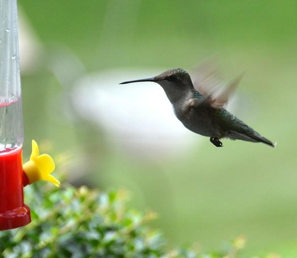 Hummingbirds (5)