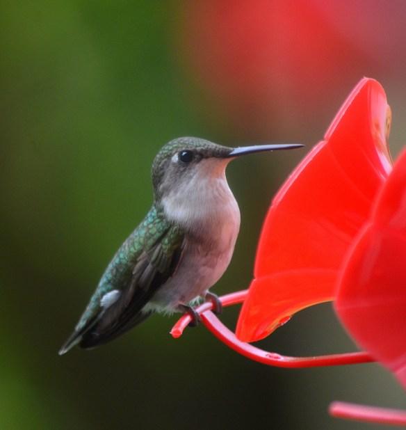 Hummingbirds (9)