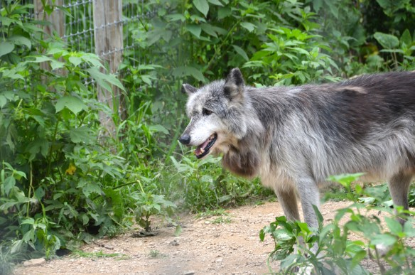 Wolves (26)