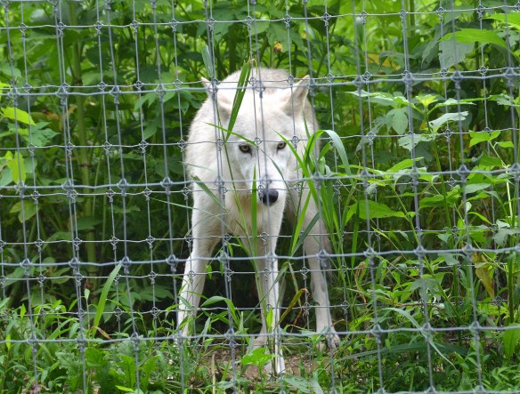 Wolves (40)