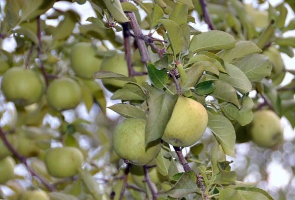 Sam's Orchard (4)