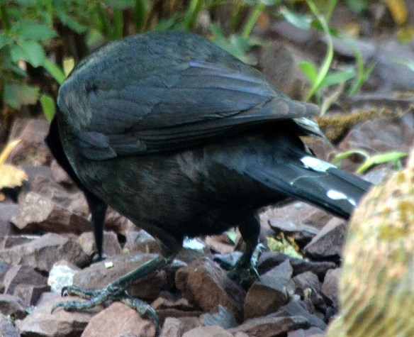 Common Grackle - Male (2)