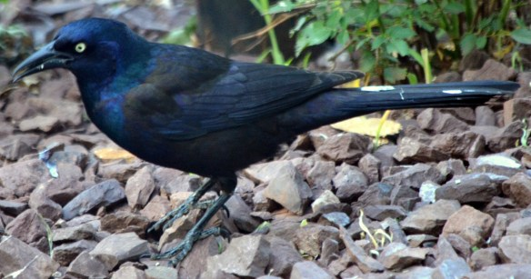 Common Grackle - Male (3)