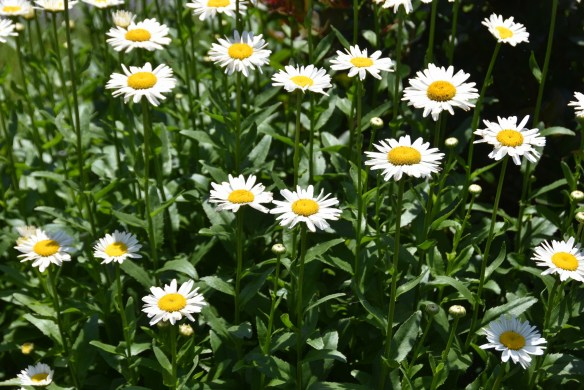 Daisies and a Wren (1)