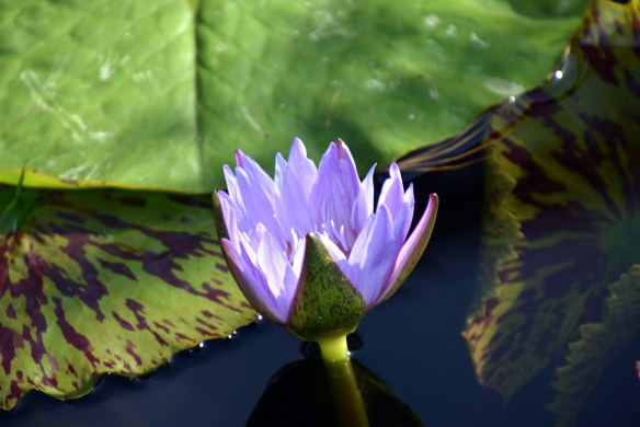 lily-pads-11