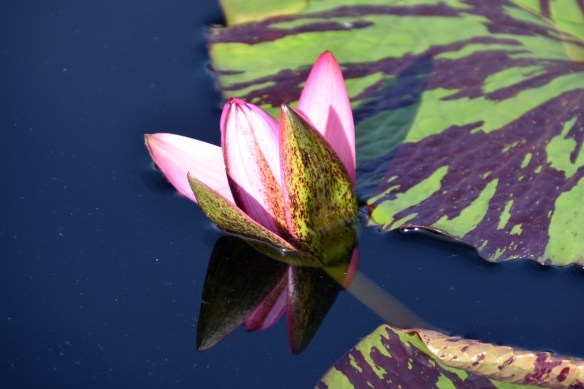 lily-pads-26