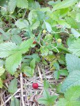 fraises des bois du potager