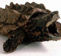 Aligátorteknőst találtak Piliscsabán