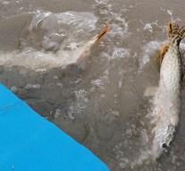 Utoljára kerültek halak a Dunába idén
