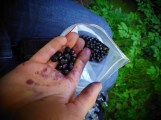 AUTUMN: collecting blueberries at magic wood is the best thing you can do with an injured finger...