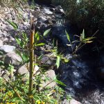 FIrst bamboo plant at the river going through our grounds