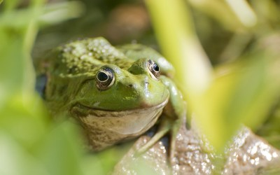 Połknij żabę