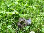 Bluebird Fledgling