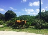 Cows roam on Anegada, British Virgin Islands. (photo by dorothyadele)