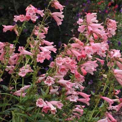 Penstemon 'Hidcote Pink'