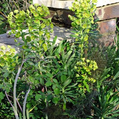 Euphorbia, Fennel & Thalictrum