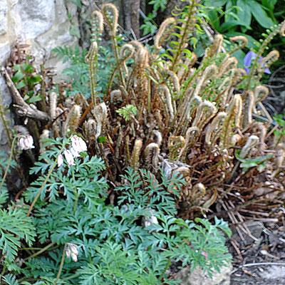 Polystichum munitum & Dicentra 'Pearl Drops'
