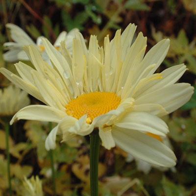 Leucanthemum x superbum 'Sonnenschein' ('Sunshine')
