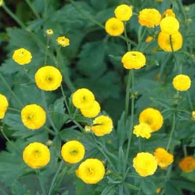 Ranunculus acris 'Flore Pleno' (Batchelor's Buttons)