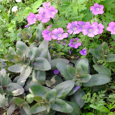 Sedum Purple Emperor with Geranium Sirak