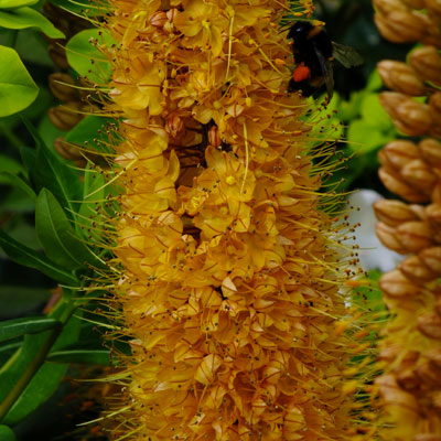 Eremurus with bumblebee