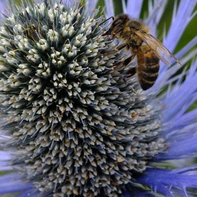 Eryngium x zabelii 'Big Blue' with honeybee