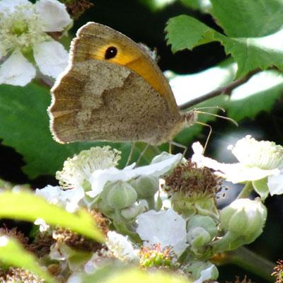 Meadow Brown on Bramble