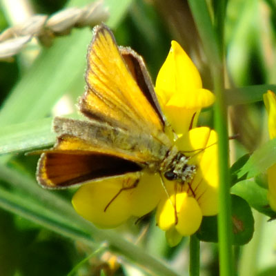 Small Skipper on Bird's Foot Trefoil