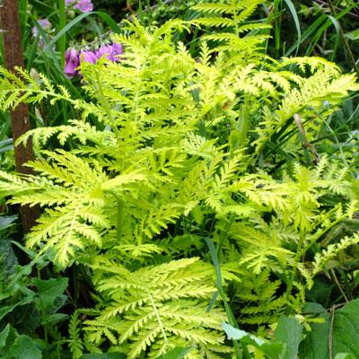 Tanacetum vulgare 'Isla Gold' - Golden Tansy