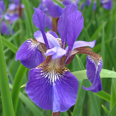 Iris 'Blue King' (sibirica)