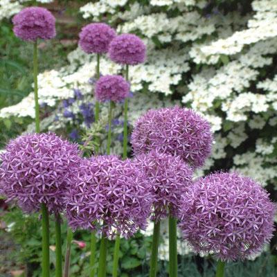 Allium (Mum's)