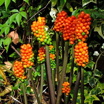 Arum italicum 'Pictum'