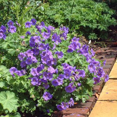 Geranium-magnificum-garden