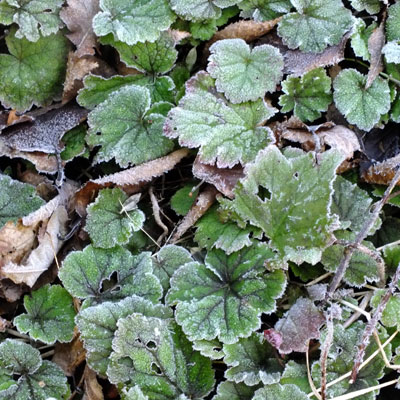 Tellima with frost