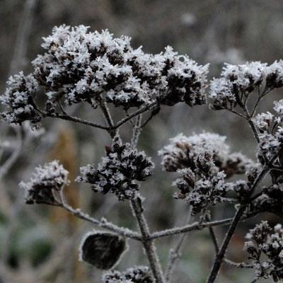 frost on Origanum