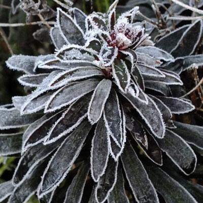 frosted Euphorbia amgdaloides 'Purpurea'