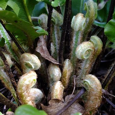 Asplenium scolopendrium new fronds