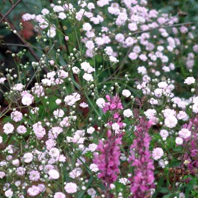 Gypsophila 'Pink Festival'