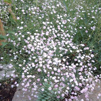 Gyspsophila 'Rosenscleier' ('Rosy Veil')
