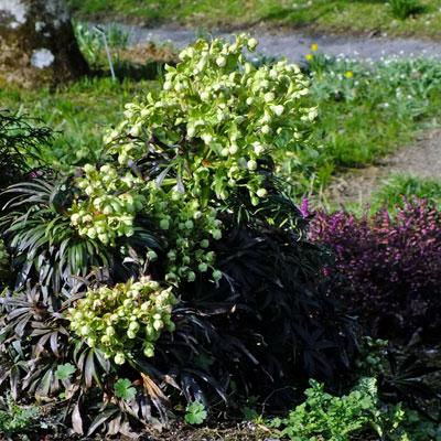 Helleborus foetidus - (Stinking Hellebore)