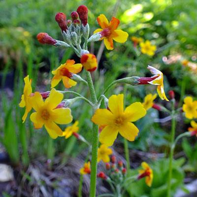 Primula chungensis