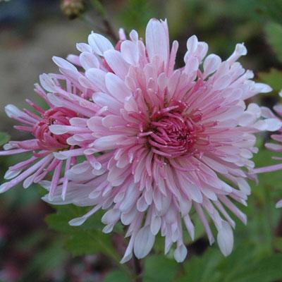 Chrysanthemum 'Emperor of China'