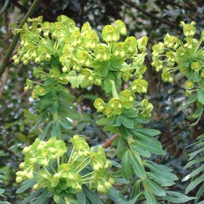 Euphorbia characias subsp. Wulfenii creticus