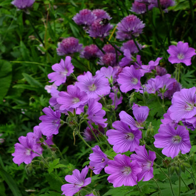Geranium 'Sirak' with Chives