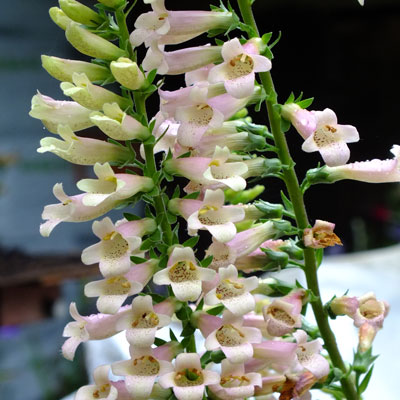 Digitalis 'Glory of Roundway'