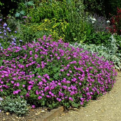 Geranium 'Russell Prichard'