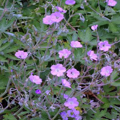 Geranium pulchrum